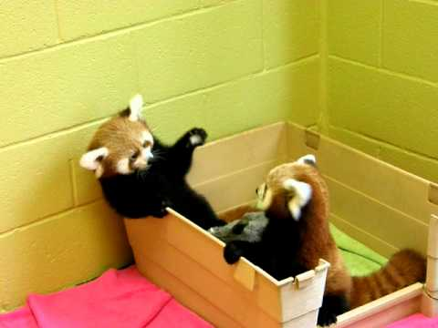 Red panda babies being adorable