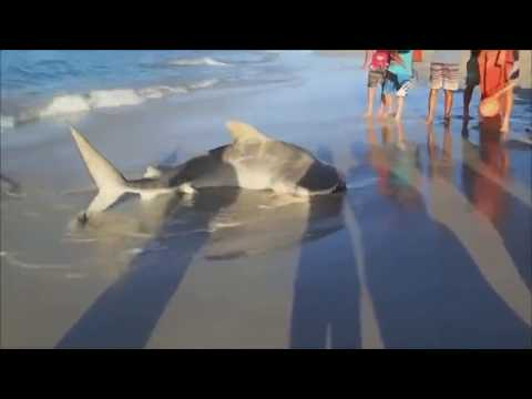 Great Shark footage -Ten foot Tiger Shark on the beach sands is put back into water by 3 brave men!!