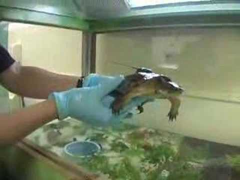 Western Pond Turtles New Exhibit Video