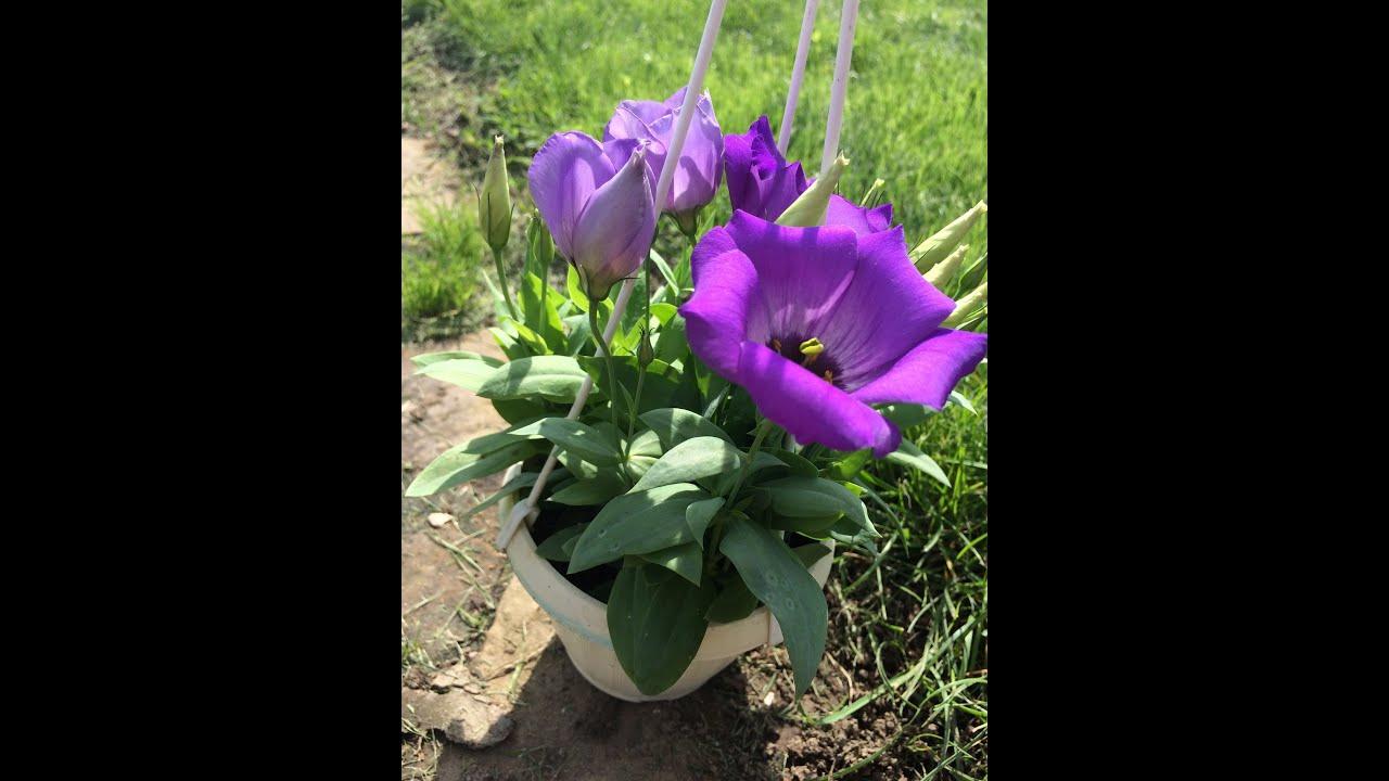 Эустома многолетняя посадка и уход, фото цветов 37