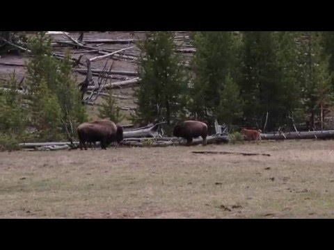 Bison Calves Playing and Running in Yellowstone