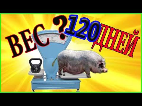 Вьетнамские поросята.  Вес в 120 дней.  Контрольный замер. Вес вьетнамских поросят.