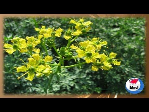 Para que sirve la ruda - Propiedades y beneficios de la ruda planta medicinal