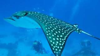 Small Eagle Ray