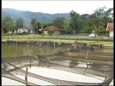 Culture of tilapia in Indonesia