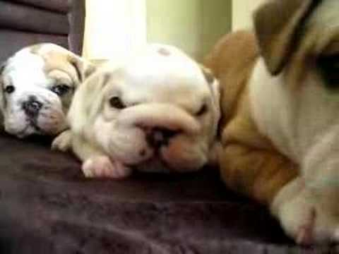 English Bulldog Puppies & crazy mama