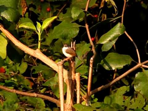 Jungle Prinia @ Narsapur Reserve Forest - Medak