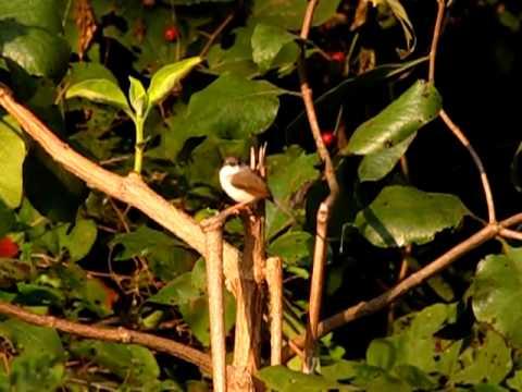 Jungle Prinia @ Narsapur Reserve Forest - Medak