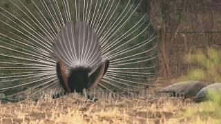 National Bird of India - Peacock dances in Jawai, Rajasthan