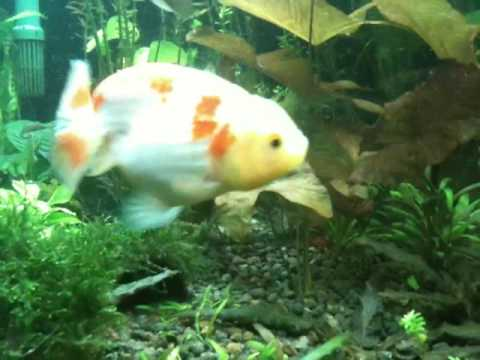 goldfish tank. Refreshing planted goldfish tank 125g .MOV