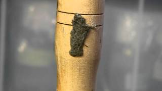Timelapse of Winter Moth Laravae Hatching 10
