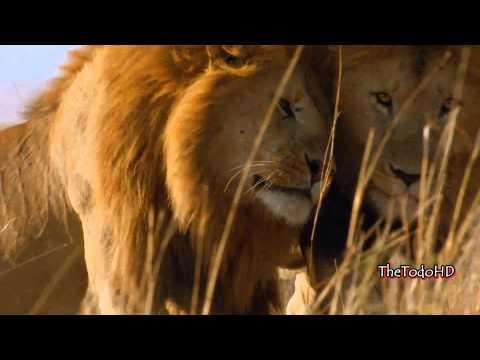 (Felinos de Africa) trailer Disney Nature (Español Latino) FULL HD