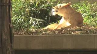 Deer jumps in to Lion Exhibit at the National Zoo DC