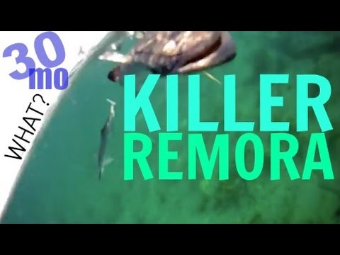 30milesOUT.com  KILLER REMORA ! offshore kayak fishing ft. lauderdale florida reef