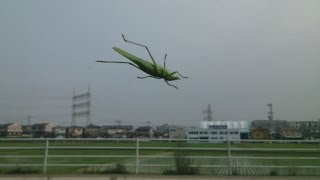 空飛ぶバッタ Grasshopper flying