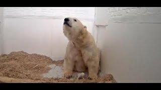 Trauer im Tierpark: Wieder Eisbärenbaby in Berlin gestorben