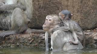 Wo! Never see Rose swim, first time Rose swimming and another monkeys swiming with her babies