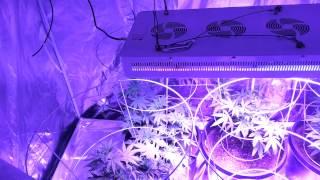 Calie's Cannabis,  The final 6