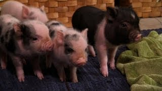 Perfectly Precious Potbelly Pigs | Too Cute!