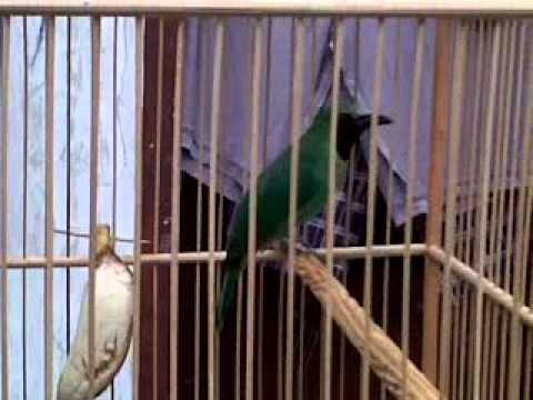 Suara Burung Cucak Ijo Gacor 6 Menit Full video