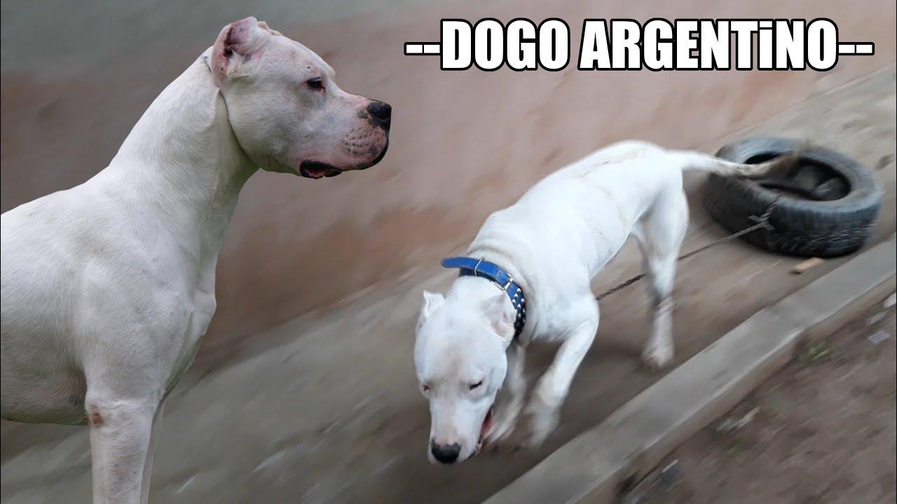 Dangerous Dog Breeds  DogsBiteorg