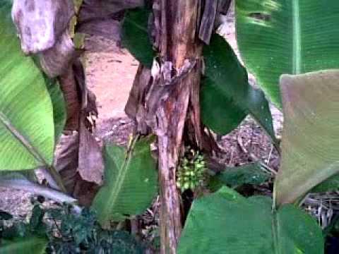 Pisang Berbuah Lebat Pisang Berbuah di Batang