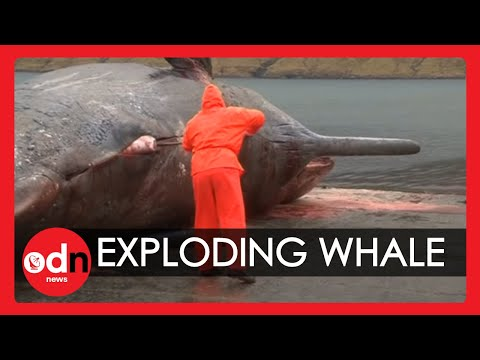 Exploding sperm whale carcass caught on camera in the Faroe Islands