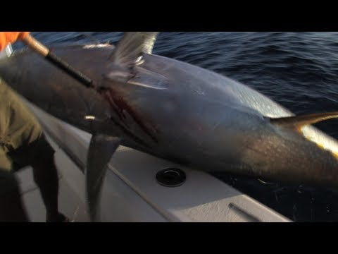 Monster Yellowfin Tuna