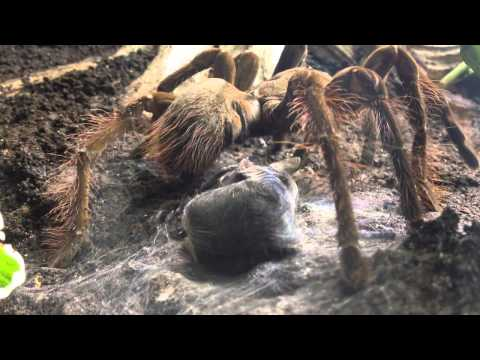 Goliath Bird Eating Spider Goliath Bird Eating Spider