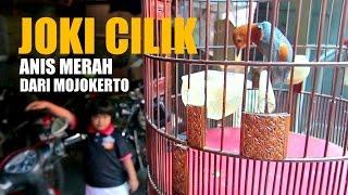 Download Lagu SUARA BURUNG : Joki Cilik Bikin Anis Merah Teler Gacor dari Mojokerto Gratis STAFABAND
