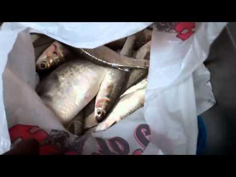 Castnetting St.Johns River for Shrimp,Mullet + more