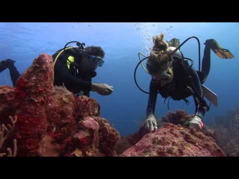 Coral Restoration Akumal Mexico: Clipping and transplanting. Nail and cable tie method