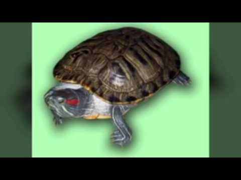 Как правильно содержать домашних условиях черепаху 549
