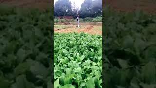 Cận cảnh trồng rau tại Quang Huy