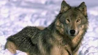 Wolf Drawn