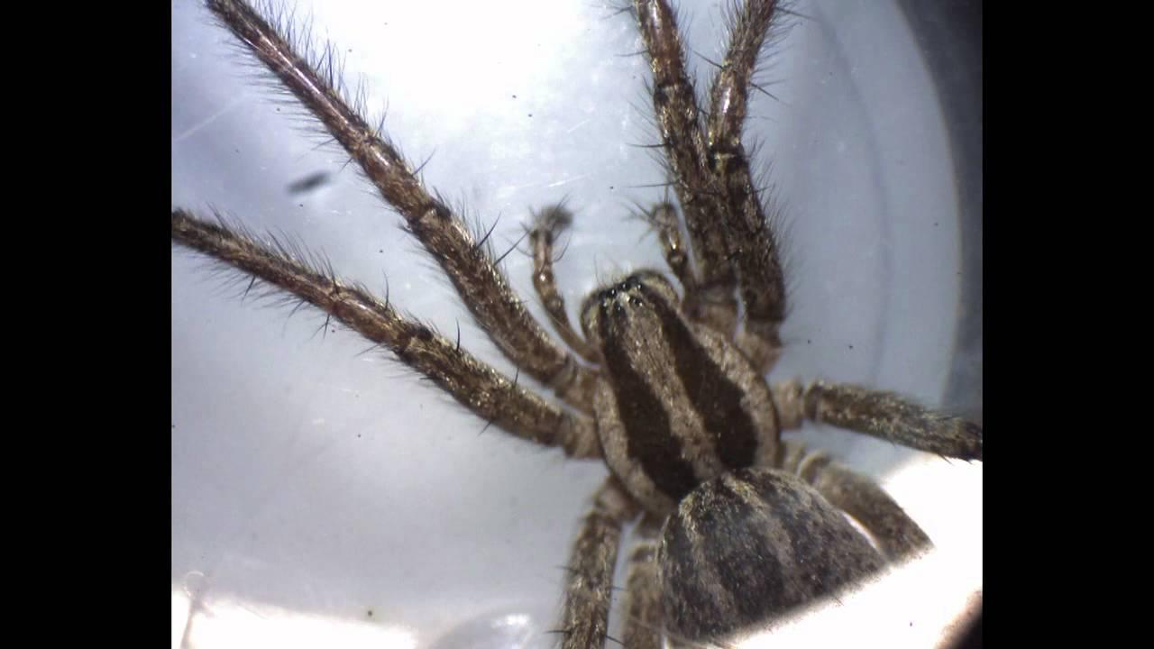 Spider Under Microscope Eyes Under Microscope 10X