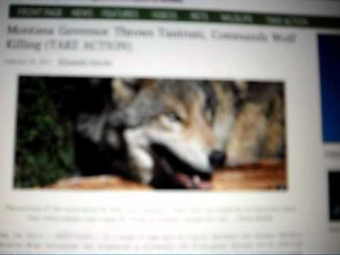 WOLVES NEED YOUR HELP: RAISE YOUR VOICE, SO THEIRS WONT BE SILENCED