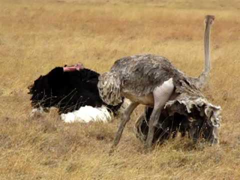 Ostrich mating ritual, Tanzania - Africa