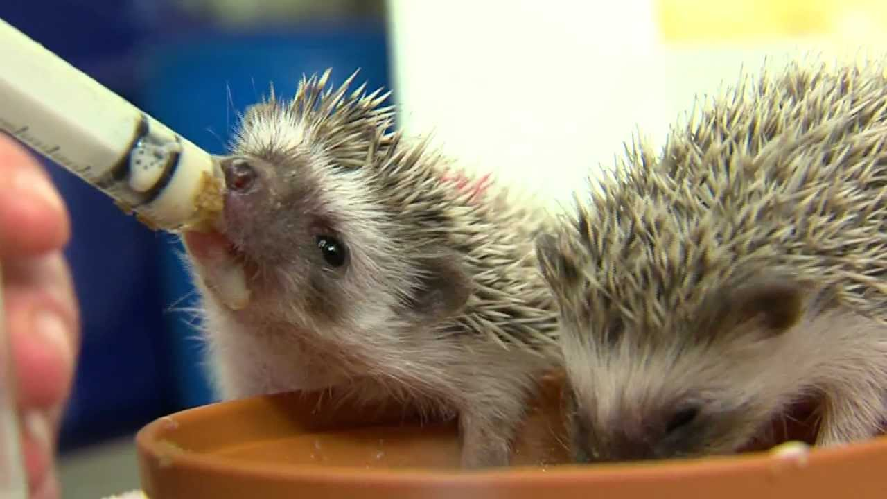 Cutest Baby Hedgehogs Ever - Cincinnati Zoo - YouTube
