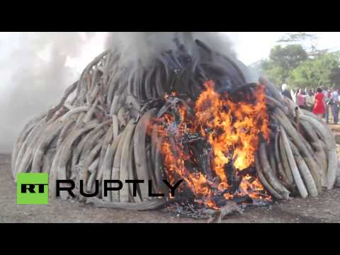 Kenya: See 15 tons of illegal ivory BURN for World Wildlife Day