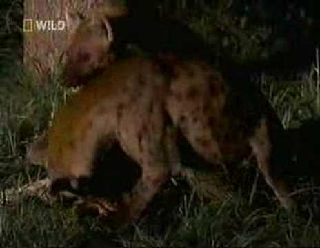 Leopard vs Hyena Stand Off over meat- Rare footage from wild