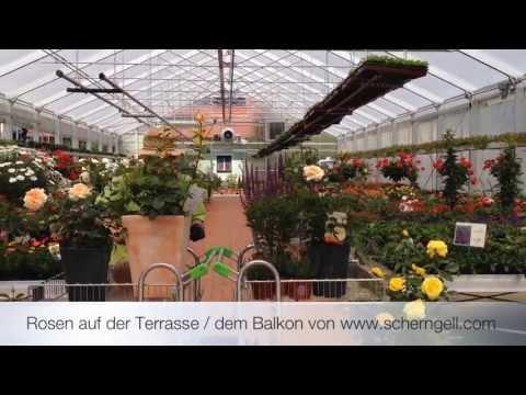 Scherngell Gärtnereitipp: Rosen Auf Der Terrasse / Dem Balkon