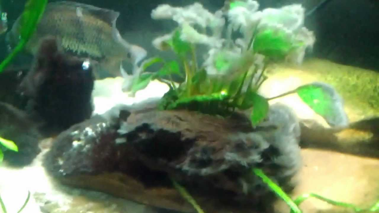 How to remove hair algae youtube for Black algae in fish tank