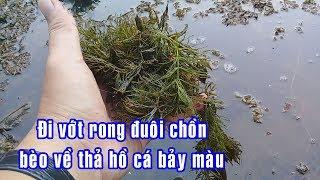 Đi vớt rong, bèo về thả vào hồ cá bảy | guppies | KPTV