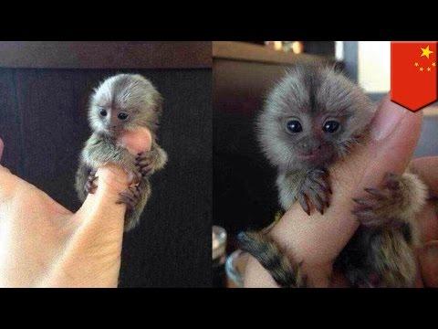 Tiny monkeys: thumb-sized pygmy marmosets are China's latest wealth symbol - TomoNews
