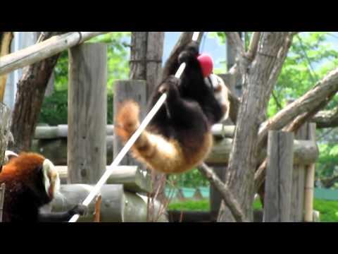 レッサーパンダ ライラ 円山動物園