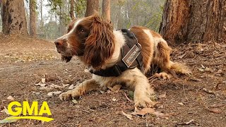 Dogs are saving koalas in the Australia wildfires l GMA Digital