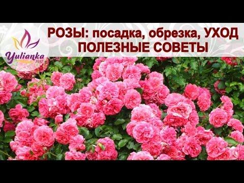 Видео как размножать розы