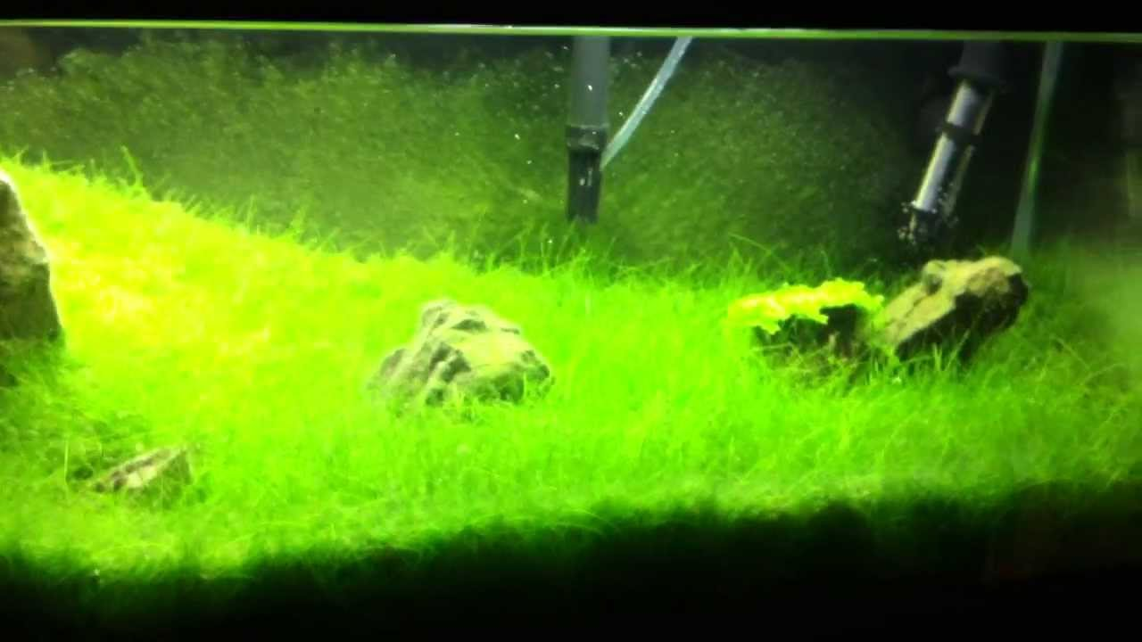 How to get dwarf hairgrass to carpet - The Planted Tank Forum