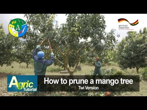 How To Prune A Mango Tree (twi) video